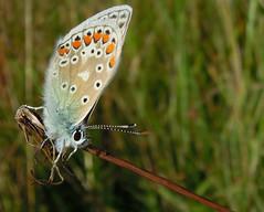 Blue in Hay Meadow ... (Andy & Helen :-) :)) Tags: butterfly blue staffordshire summertimeblues summer meadow traditional native farmland wildlife wildflowermeadow explored lycaenidae blues