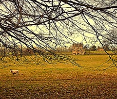 Behind the Bramble! (springblossom3) Tags: chipping campden cotswolds countryside nature field sheep brambles house branches