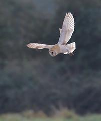 Barn Owl (KHR Images) Tags: barnowl barn owl tytoalba wild bird hunting inflight flying rspb fendraytonlakes cambridgeshire eastanglia wildlife nature nikon d500 kevinrobson khrimages