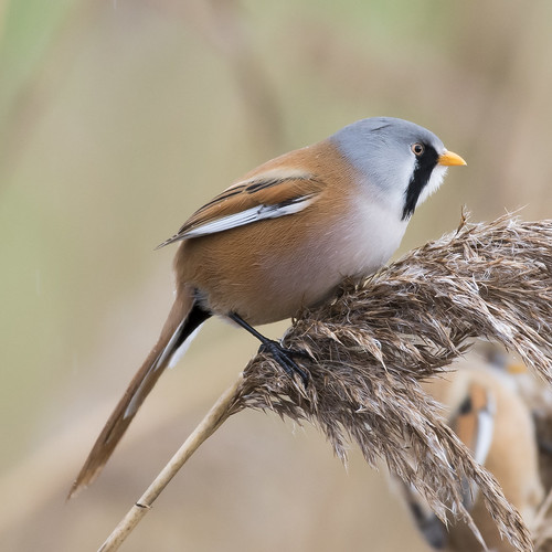 (032) Bird - Bearded Tit (Reedling) - Oulton Marshes