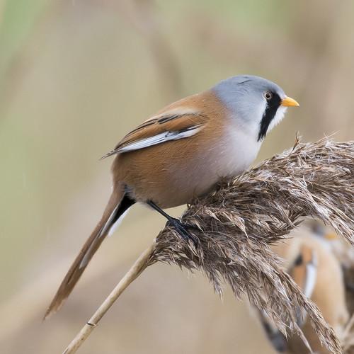 (032) Bird - Bearded Tit (Reedling) - Oulton Marshes