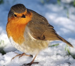 robin  (4) (Simon Dell Photography) Tags: simon dell photography sheffield castleton derbyshire snow 2017 friday 13th january peak district photos old new landscapes wildlife nature animals birds wild scenes buildings village awsome sunlight first winter robin red breast bird cute close up macro detail classic snowy image ground