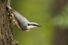 Wood Nuthatch Sitta europaea (janmangorfagerland) Tags: animal birds bird birdphoto birdsgallery bokeh birding birdsofnorway birdsbirdingnaturewildlifesupertelenikon300mmvrii2 d800e 300mmvrii28g fagerland field fugler flickr fuglebilder gallery photography photo islands wildlife jan janfagerland karmøy skog wood landscape planet mangor norway nature norge natur outdoor ornithology vr supertele spettmeis depth nikkor light sun yellow evening exposure natural