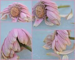 Keuze (Ilona67) Tags: roze bloem kou druppels water buiten winter