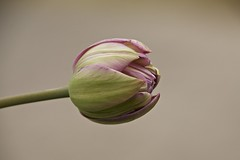 topsy tulip (Pejasar) Tags: flower bloom tulip topsyturvy sidewaysleaning heavyblossom hotsprings arkansas garvan woodland gardens garvanwoodlandgardens spring