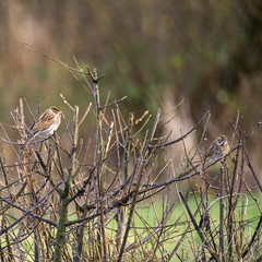 Mr & Mrs Reed Bunting (Margaret S.S) Tags: birds reed buntings