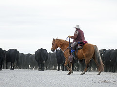 Cattle drive (annkelliott) Tags: alberta canada swofcalgary swofnanton rural ruralscene cowboy ranchman rancher man onahorse work working cows cattle cattledrive road outdoor winter 20february2017 fz1000 lumix panasonic annkelliott anneelliott ©anneelliott2017 ©allrightsreserved