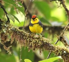 Collared Redstart (Gmo_CR) Tags: collaredredstart myioborustorquatus candelitacollareja amigodehombre