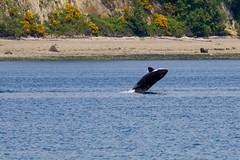 Transient orca breach (5/21/15) (wanderinggrrl) Tags: year2 week52
