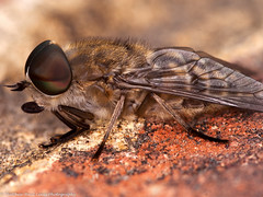 Biting blighter (Tubs McHam) Tags: macro fly sigma105mmmacro extentiontubes marumiringflash matthewpaullewis tubsmcham