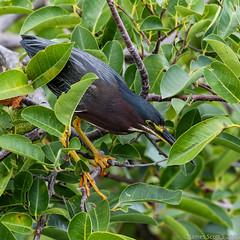 20150628 70D Wakodahatchee 31 (James Scott S) Tags: canon us unitedstates florida wildlife birding wetlands everglades fl preserve ef delraybeach wakodahatchee 10400 70d lrcc