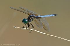 BLUE DASHER 10 (k.nanney) Tags: arlington insect nikon texas dragonflies tx d800 odonata libellulidae texaswildlife skimmers tarrantcounty bluedasher nanney kennanney kennethnanney villagecreekdryingbeds phahydiplaxlongipennis tamronsp150600mmf563divcusd