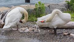 The family (bertrandwaridel) Tags: summer lake birds june switzerland swan suisse cygnet lausanne swans shore pully lakegeneva vaud 2015 lakeleman