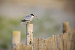 Common Tern (santosh_shanmuga) Tags: new bird nature animal newjersey nikon bokeh outdoor wildlife aves jersey monmouth common 500mm tern d3s