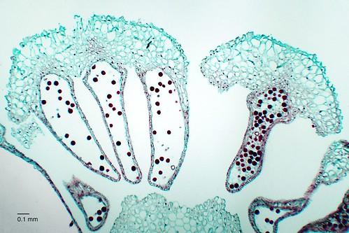 Equistetum sp. strobilus