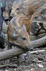 Boarlet (Wildlife Online) Tags: animal mammal pig wildlife piglet boar britishwildlife whipsnadezoo britishcountryside wildboar susscrofa zsl ukwildlife zoophotography europeanwildboar babywildboar wildbig bandedpig marcbaldwin wildlifeonline juvenilewildboar captivewildboar