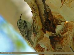 Eurasian Treecreeper (Certhia familiaris) (gilgit2) Tags: avifauna birds canon canoneos70d category eurasiantreecreepercerthiafamiliaris fauna feathers geotagged gilgit gilgitbaltistan imranshah location naltar pakistan sigma sigma150500mmf563apodgoshsm species tags wildlife wings gilgit2 certhiafamiliaris 02birds