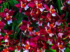 1 Causes Wonder to Burst (Mertonian) Tags: flowers red orange green nature beauty canon wonder 1 petals blossom powershot rush simplicity burst causes merton ineffable mertonian canonpowershotsx60hs robertcowlishaw sx60hs monkofthewestdesertcom 1causeswondertoburst