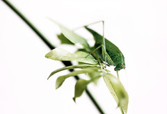 mio (*BLULU) Tags: macro explorer cavalletta caelifera