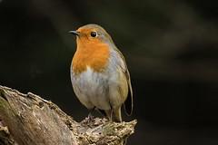 Mr Robin (Freespirit 1950) Tags: robin