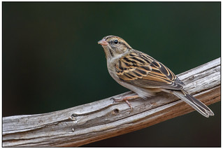 Chipping Sparrow (adult non-breeding) -Explored- dsc_5579