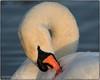 ARKLOW DUCK POND  DEC 2016 (philipmaeve12) Tags: select swans arklow birds wildlife
