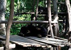 Luang Prabang (makingacross) Tags: laos pdr luang prabang luangprabang nikon d3000 louangphabang luangphabang phabang moon bear rescue