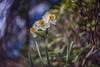 _DSC0782 (kymarto) Tags: bokeh bokehlicious depthoffield garden flower flowers narcissus dallmeyer supersix nature naturephotography sony sonynex7