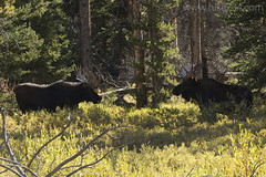 "Bull Moose • <a style=""font-size:0.8em;"" href=""http://www.flickr.com/photos/63501323@N07/31602619124/"" target=""_blank"">View on Flickr</a>"