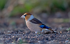 Hawfinch  M (drbut) Tags: hawfinch coccothraustescoccothraustes finches fringillidae avian forestofdean bird birds nature wildlife yewtrees