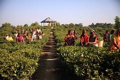 C1_2016-161385 (HamimCHOWDHURY  [Read my profile before you fol) Tags: teagardenportrait girlnature tealeaf workingwomen