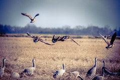 Day 23 ~ winter refuge (champbass2) Tags: california usa pacificflyway day23365 3652017 2017 migration sandhillcranes whitefrontedgeese specs winter ricefields takingflight