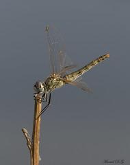¿Sympetrum fonscolombii? (elsiete60) Tags: libélula panasonic dmcfz1000 odonato anisóptero sympetrumfonscolombii