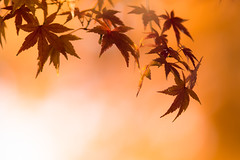playing in late autumn (hitohira_) Tags: flower flowers nature bokeh leaves maple