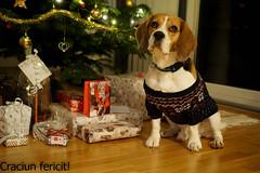 Craciun 2016 (adi_stoica2001) Tags: merry christmas buon natale god jul craciun fericit beagle dog pet norway sonyilce6000