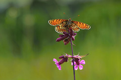 D71_7970A (vkalivoda) Tags: motýl butterfly schmetterling insect macro depthoffield bokeh serene makro hnědásek hnedáčik hnědásekkostkovaný melitaeacinxia hnedáčikmriežkovaný glanvillefritillary wegerichscheckenfalter damerpuntejat okkergulpletvinge rõmmetähnikvõrkliblikas doncellapunteada mélitéeduplantain običnišarenac cinzia rudgelsvėšaškytė rétitarkalepke veldparelmoervlinder prikkrutevinge przeplatkacinksia crnookišarenac täpläverkkoperhonen ängsnätfjäril ýparhan