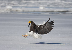 Japan (richard.mcmanus.) Tags: japan lakefuren hokkaido bird birdofprey wildlife winter ice stellersseaeagle eagle mcmanus