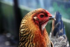 Front yardbird (TJ Gehling) Tags: bird galliformes fowl phasianidae chicken hen gallus gallusgallus gallusgallusdomesticus yard yardbird elcerrito