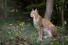 Lynx (Cloudtail the Snow Leopard) Tags: luchs wildpark pforzheim tier animal mammal säugetier katze cat feline lynx