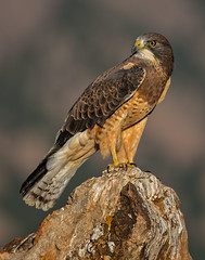 Swainson's Hawk (Eric Gofreed) Tags: hawk raptor swainsonshawk ngc npc