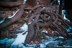 Intrecci (Castello foto) Tags: radici albero scoperte intrecciate neve sottobosco