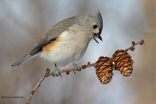 Mésange bicolore (Tufted Titmouse)