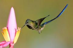 Violet-tailed Sylph (4314) (Bob Walker (NM)) Tags: bird hummingbird violettailedsylph aglaiocercuscoelestis vtsy ecuador tandayapa 50kmnwofquito pichinchaprovince