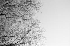 Sky is the limit (•Nicolas•) Tags: bw nb tree arbre sky ciel nicolasthomas film analog ilford hp5 400iso lc29 rapidfixer grey branch branche gris france