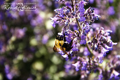 _MG_7975RMH 12.1 CMYK WebsiteRGB (creationartistcoPHOTO) Tags: bee animal purple bumblebee flower macro wing flight fly fuzzy