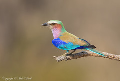 Lilac-breasted Roller (Coracias caudatus) (www.mikebarthphotography.com 1M + Views thanks !) Tags: birds southafrica coraciascaudatus lilacbreastedroller