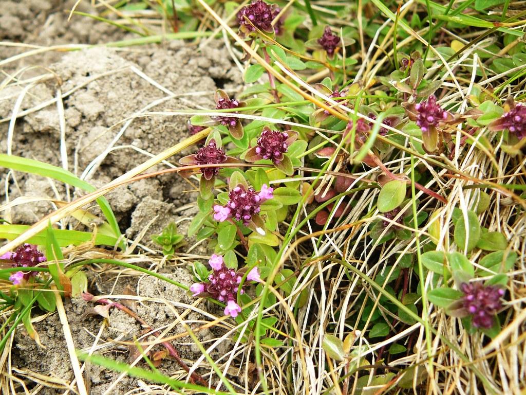 Thymus pulegioides-1
