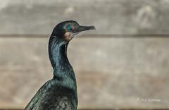 Brandt's Cormorant (Rick Derevan) Tags: morrobay brandtscormorant phalacrocoraxpenicillatus cormorant bird california unitedstates us