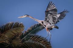The art of palm tree landing (GBH) (bodro) Tags: bolsachica greatblueheron palmtree bird birdinflight birdlanding ecologicalreserve wetlands