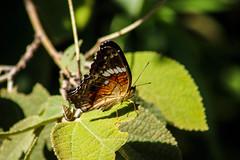 Borboleta (Johnny Photofucker) Tags: borboleta farfalla inseto insect insetto bug lightroom